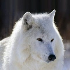 The_White_Wolf